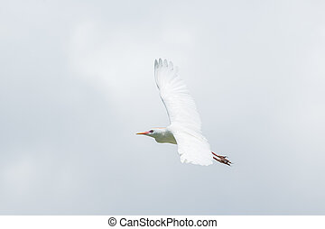 Little Egret - A Little Egret which is a small white Hernon ...