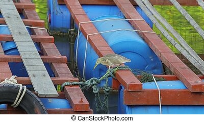 A little gray heron is fishing from a river on a pier. - The...