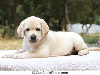 a little labrador puppy on the white background