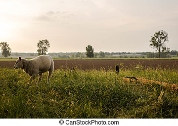 A little spring lamb in the Netherlands