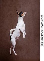 A little white dog walks through the air