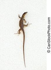 A lizard climbing the wall.