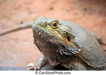 Lizard - A Lizard eyeing you over.