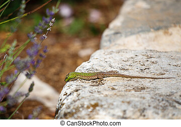 A lizard looking for a way out of a stone wall, with a blurred b