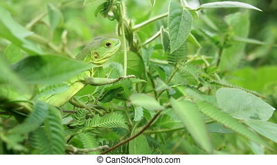 A Lizard sitting in Tree Branches.