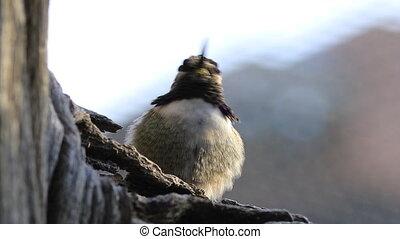 Loafing Black Chinned Hummingbird, Archilochus alexandri
