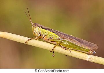 locust - a locust in the plant stem, taken photos in the...