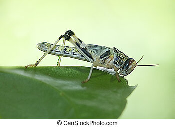 Locust - A Locust on a leaf