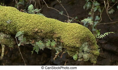 A log covered in moss and ferns - Close up of an old log in...