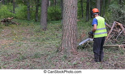 A logger is cutting down a spruce with a big chainsaw. He is cutting it all around and the tree will soon fall on the ground. Close-up shot
