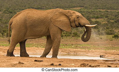 A lone bull elephant drinking at a water hole in Addo Elephant National Park, South Africa