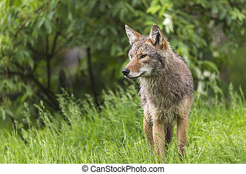 A lone Coyote in summer