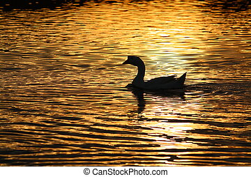 Lone Goose - A Lone Goose in the neighborhood pond