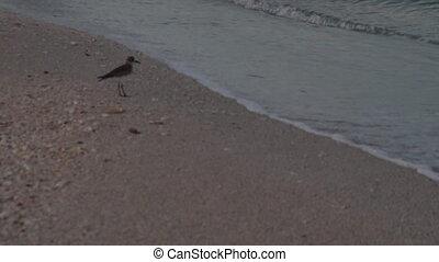 Sandpiper Feeding On The Shore - A Lone Sandpiper Feeding On...