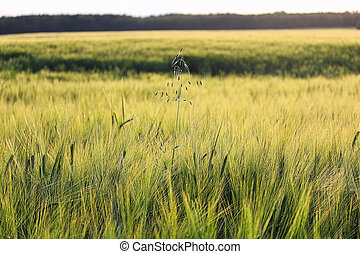 A lone stalk wild oats in a field of barley
