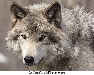 A lone Timber wolf in a winter scen
