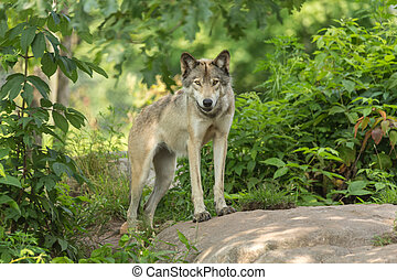 A lone Timber Wolf in the summer in