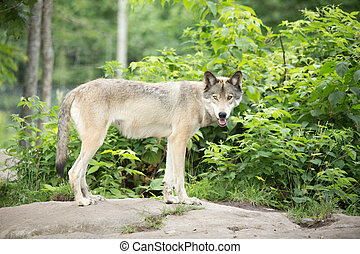 A lone Timber Wolf in the summer