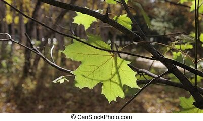 A lone yellow maple leaf on a branch swings in the wind