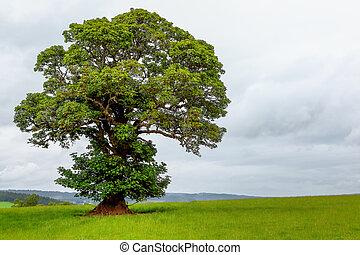 A lonely green oak tree
