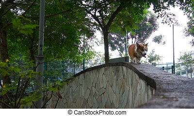 Pembroke Welsh Corgi - A lonely traveling Pembroke Welsh...