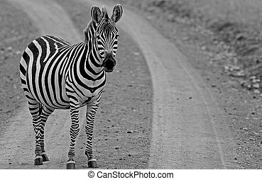 A lonely Zebra standing at the edge of a dirt track looking into camera