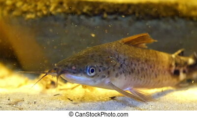 A long brown fish on a aquarium with the white sand. The...