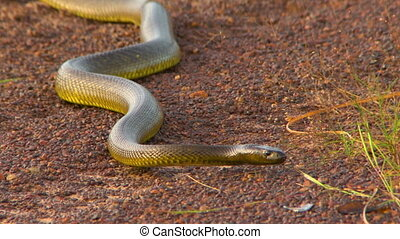 A long gwardar snake coming forwards - Front view of a solid...