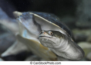 A Long Neck Turtle - A portrait of a long neck turtle