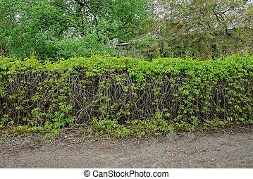 old fence overgrown with branches and green leaves of plants outside the road
