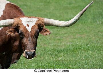 A longhorn bull in a field