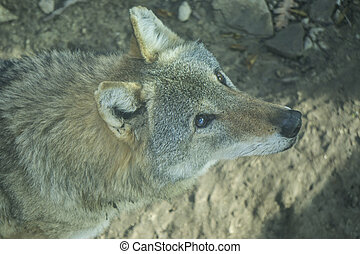 A look straight into your soul of a severe wolf female. ...