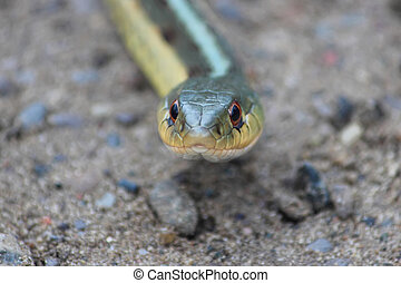 A Looking Gardner Snake