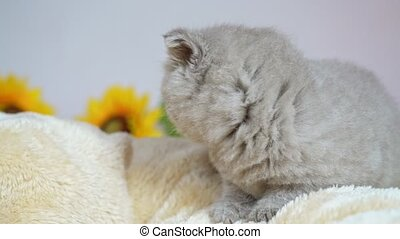 A lop-eared British kitten lying on a blanket, preparing for...