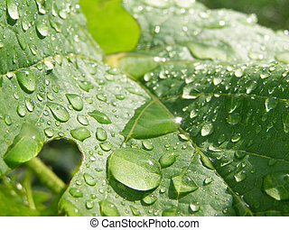 a lot drops on the big green leaf