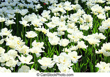 white tulips on the flower-bed