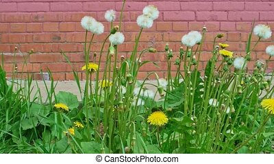A lot of blowballs of dandelion in front of wall - Many...