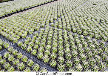 a lot of cactus in farm
