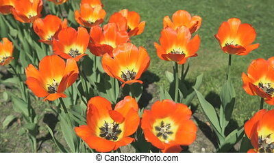 A lot of colourful of growing tulips outdoors