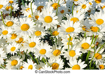 A lot of daisies close-up in the field