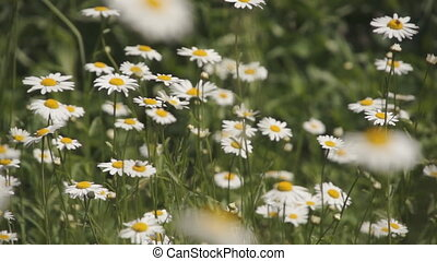 a lot of daisies in a field