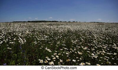 a lot of daisies in the meadow on sky background