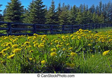 A lot of dandelion flower