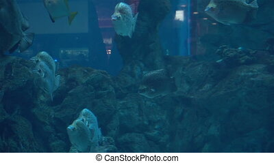 exotic Aquarium fishes swim in sea blue water - a lot of...