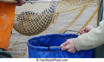 A lot of fish is hauled from a net with a scoopnet. it is placed in a big bag