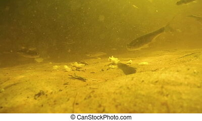 A lot of fish under water eat bread bait on bottom of the...