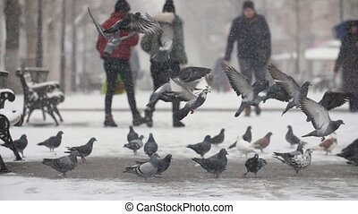 A lot of grey doves seeking and eating food on snowy square...