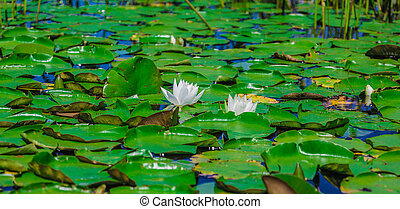 Many lily pads and lotus flowers floating on the water in a lake in the wild nature of Canada.
