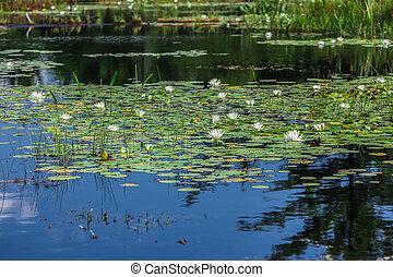 A lot of lily pads on a lake