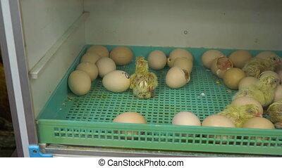 a lot of newborn chickens in the incubator.